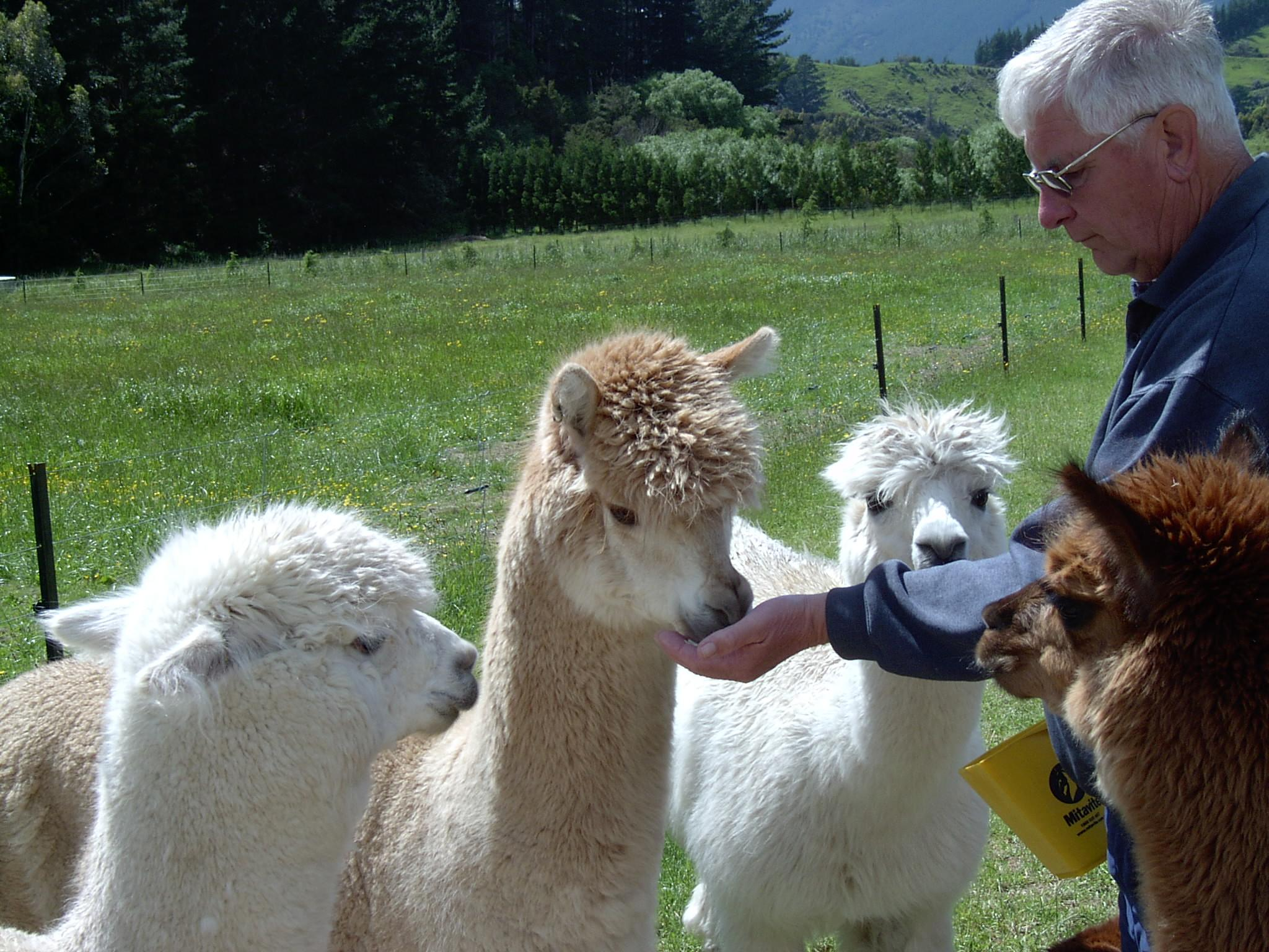 Chalfield Alpacas and Bed & Breakfast