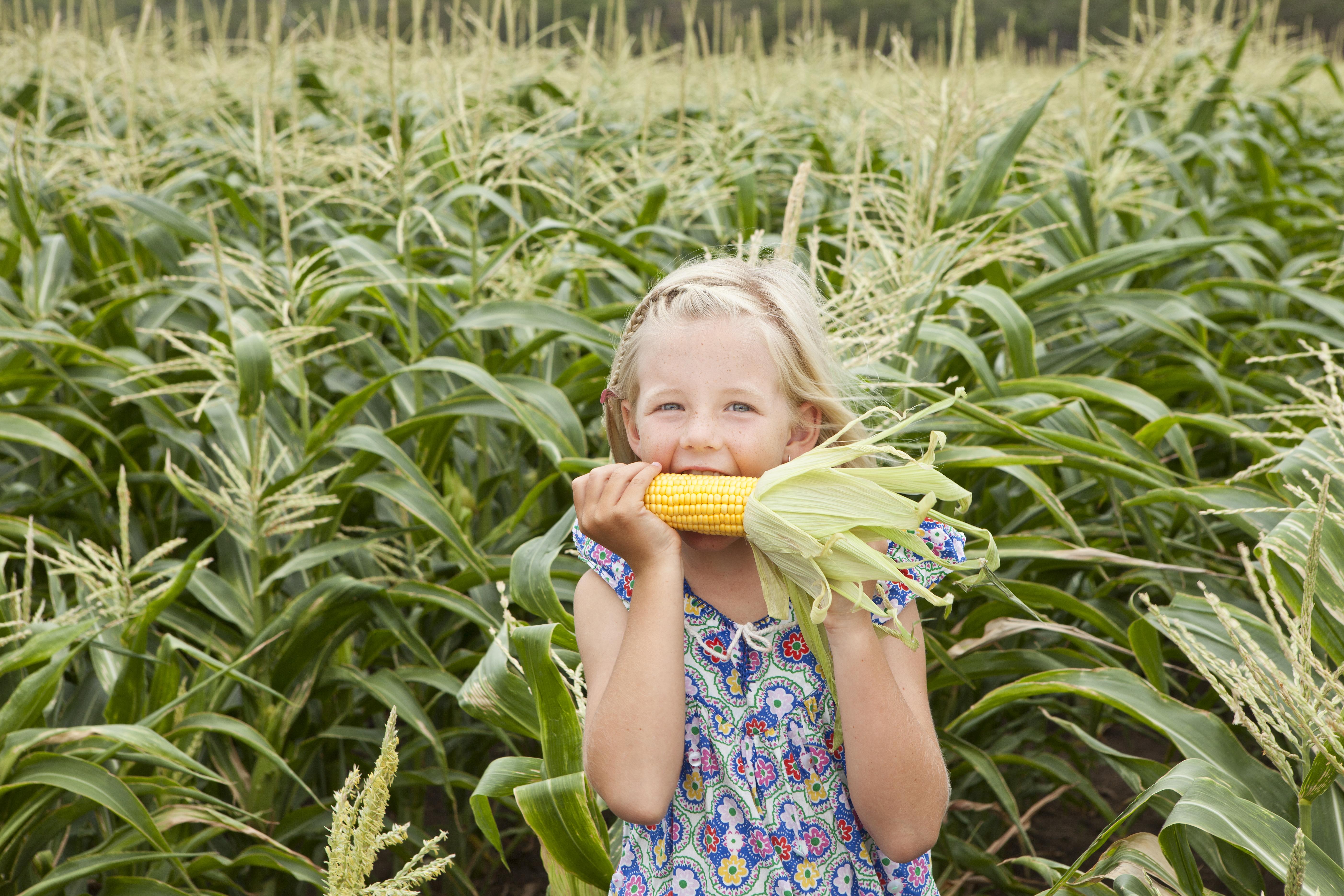Freshly picked Mulgowie corn