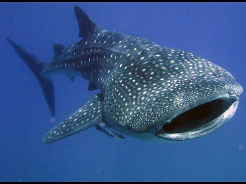 Ningaloo Whaleshark-n-Dive